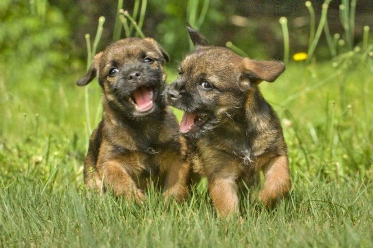 Бордер терьер. о породе собак: описание породы бордер терьер, цены, фото, уход