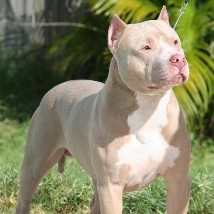 Бойцовские породы собак: список с фото и названиями