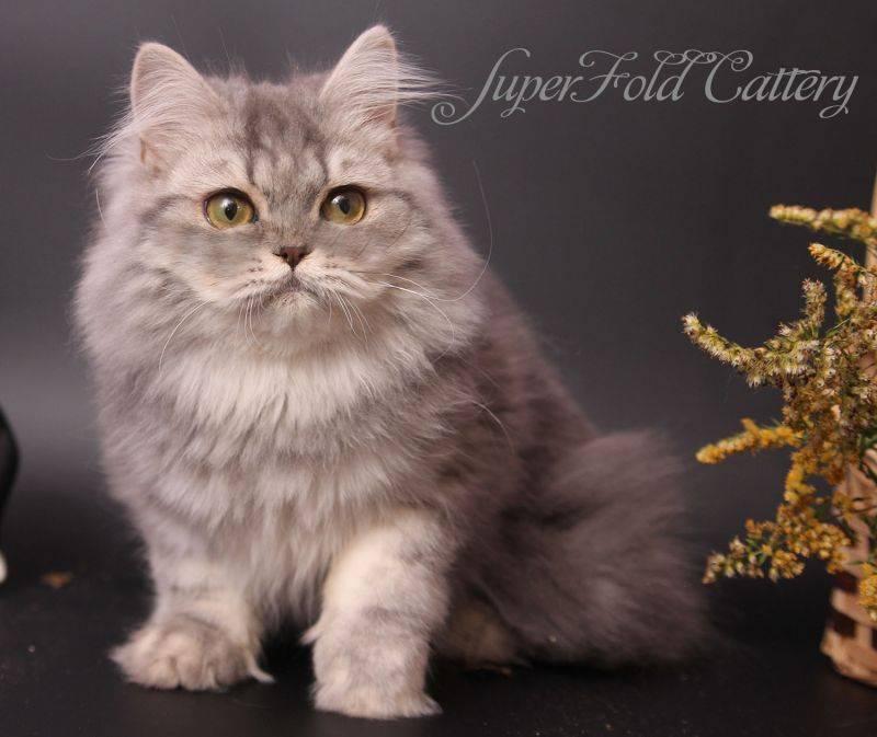 Хайленд-страйты: описание шотландской длинношерстной прямоухой кошки - особенности породы, характера и ухода