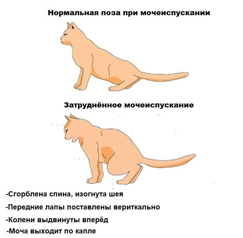 Удаление опухоли молочной железы у кошки