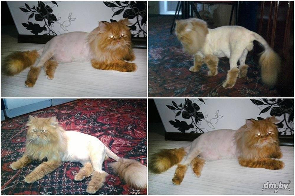 Стрижка кошек и котов: описание процесса, примеры стрижек