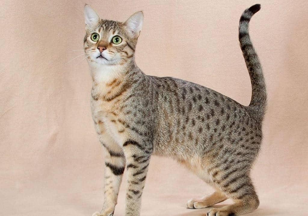Серенгети кошка: характеристика породы, история возникновения и особенности содержания