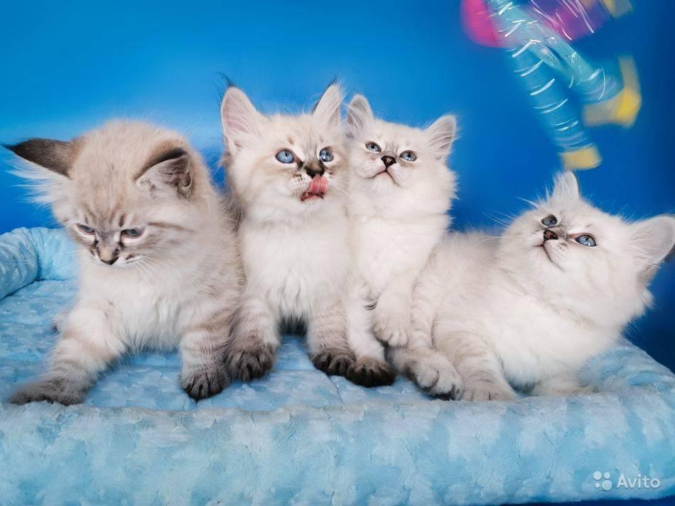 Разведение невских маскарадных котов: особенности и характер породы, уход, фото