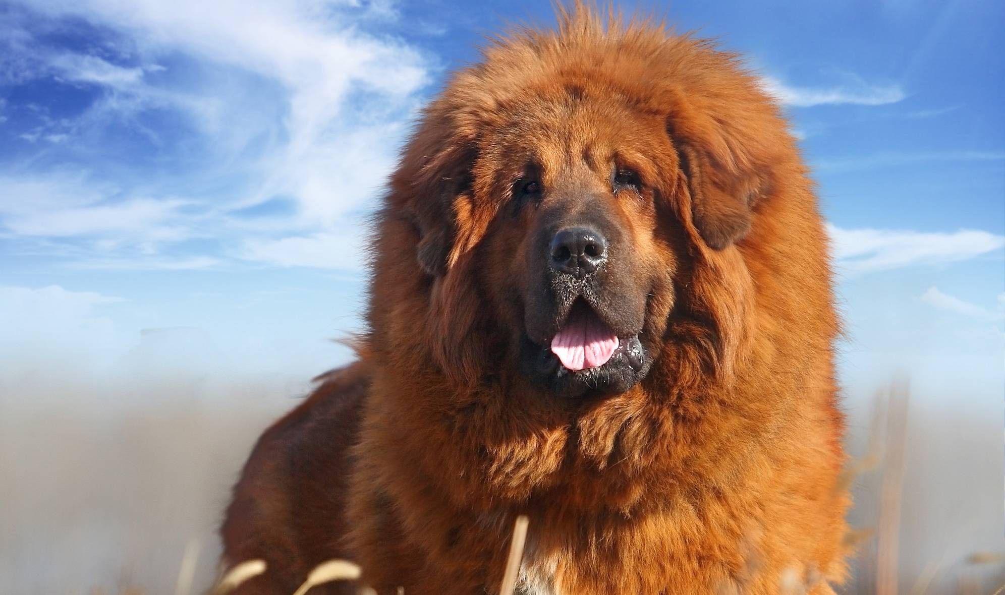 Тибетский мастиф: 100 фото, описание породы, окрас, уход за шерстью, цена щенков, уход, характер