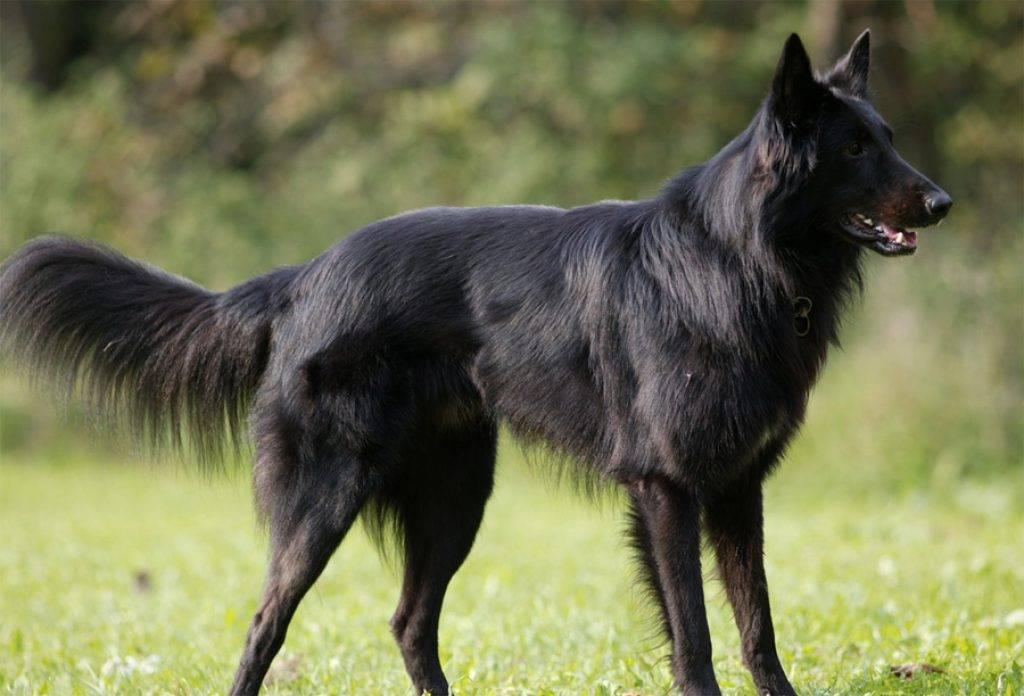 Малинуа собака. описание, особенности, уход и цена породы малинуа