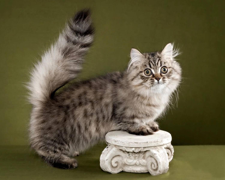 Кошки манчкин (munchkin): особенности породы, фото коротколапого котёнка и взрослого кота, уход и содержание питомца