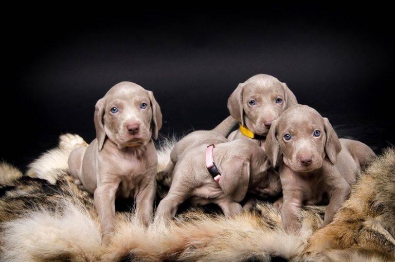 Самые спокойные породы собак и правила их содержания