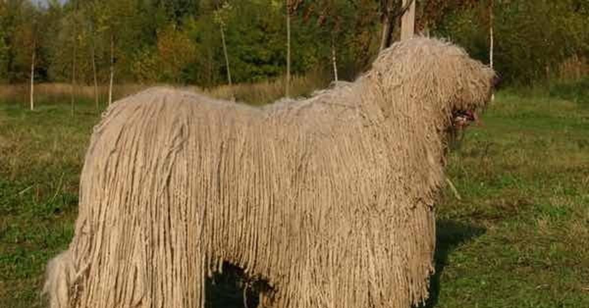 Собаки с дредами (22 фото): описание пород с шерстью, как дреды. правила ухода за ними