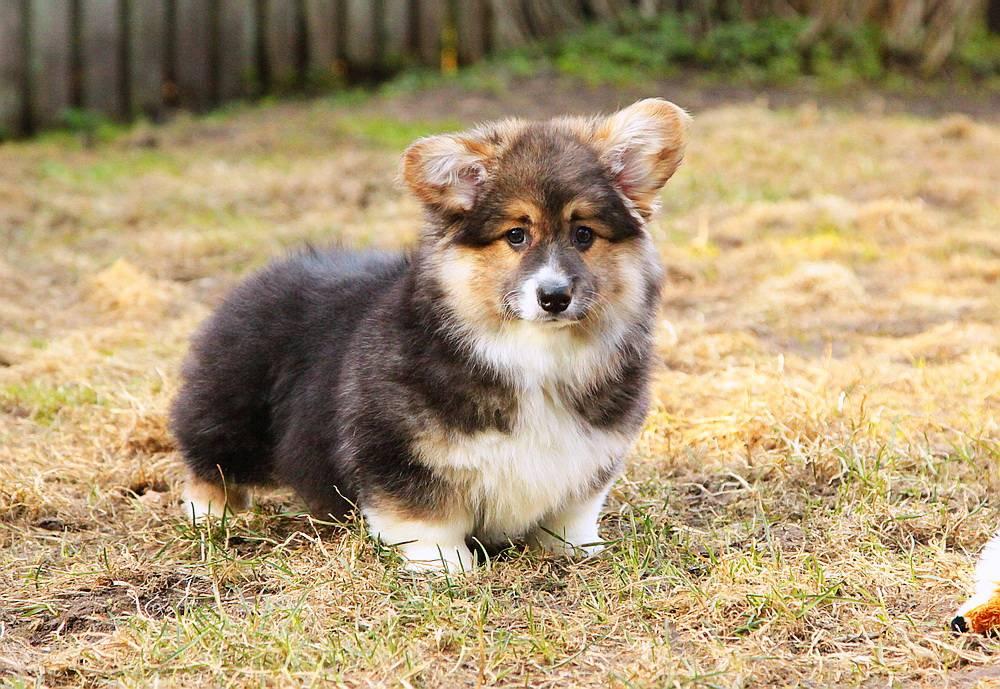 Вельш-корги кардиган: все о собаке, фото, описание породы, характер, цена