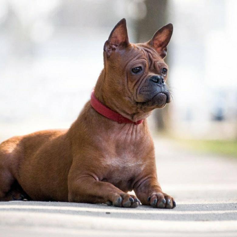 Чунцин — очень редкая порода собак