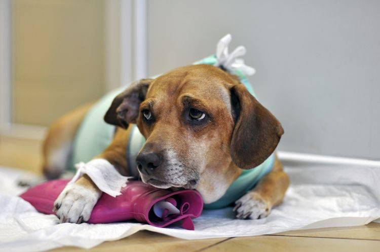 Болит лапа у собаки без видимых причин, что делать