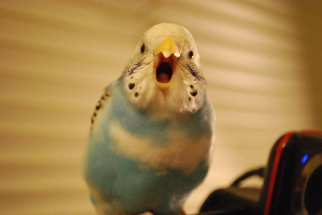 Как научить разговаривать волнистого попугая в домашних условиях: правила и рекомендации по обучению птицы