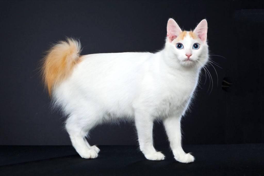 Порода котов с большими глазами