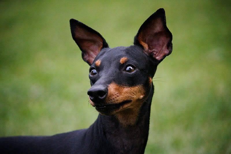 Подробное описание породы собак английский той терьер