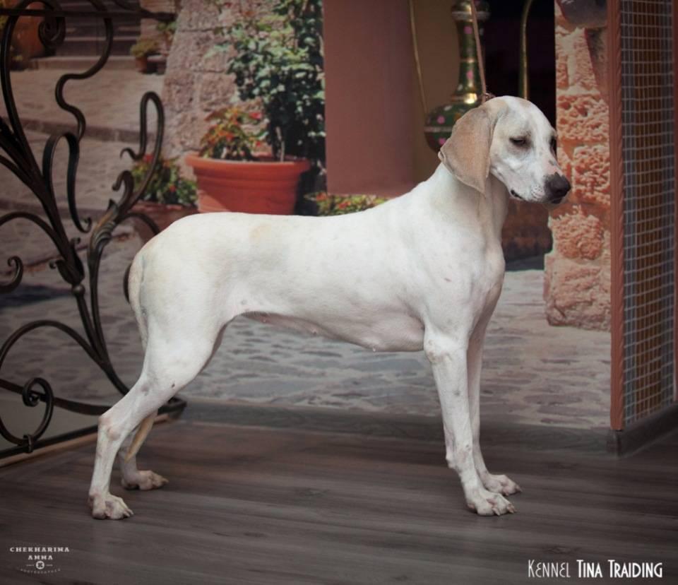 Гончие собаки — фото, какие виды пород объединены в эту группу, их особенности