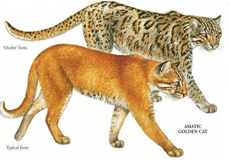 Пампасская кошка: описание внешности и характера, образ жизни и размножение, ареал обитания и численность вида