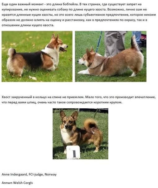 Вельш корги собака. описание, особенности, виды, уход и цена породы вельш корги