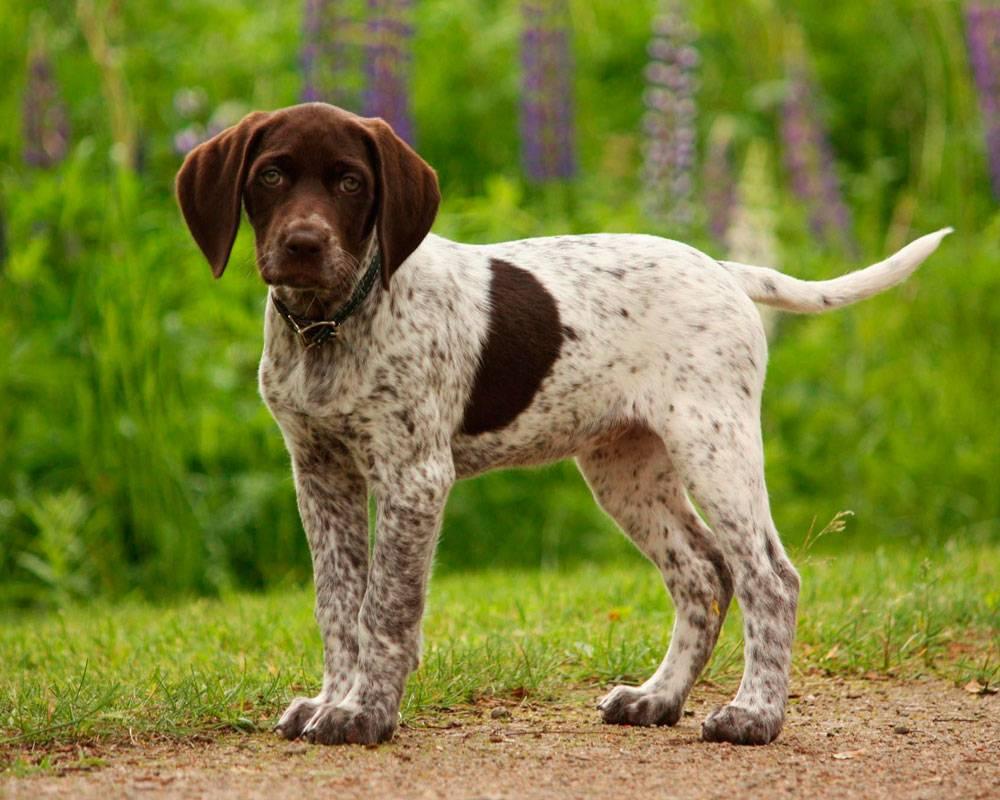 12 лучших легавых пород собака: фото, описание и стоимость