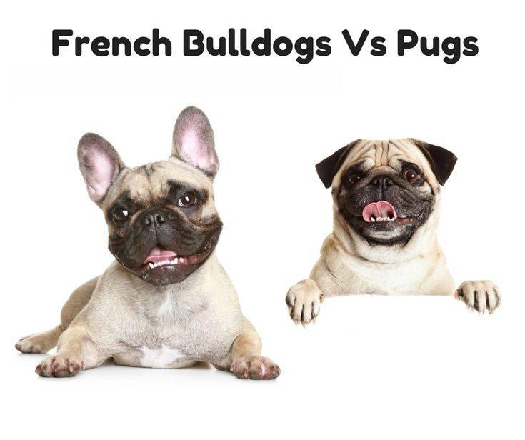 Мопс и французский бульдог — сравнение пород и какую лучше выбрать
