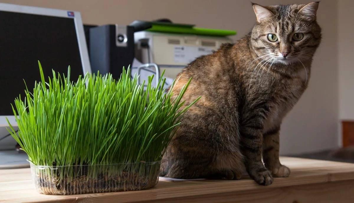 Зачем кошкам нужна трава? | блог на vetspravka.ru