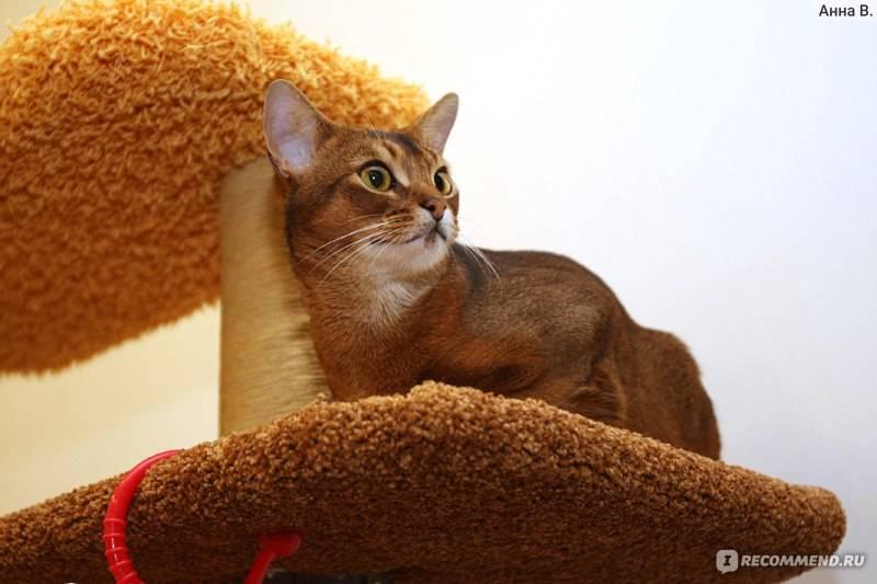 Абиссинская кошка - внешность, характеристики шерсти и окрас, содержание и рацион питания