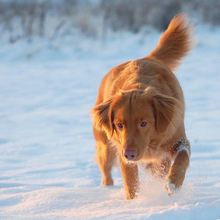 Полное описание породы собак новошотландский ретривер или толлер