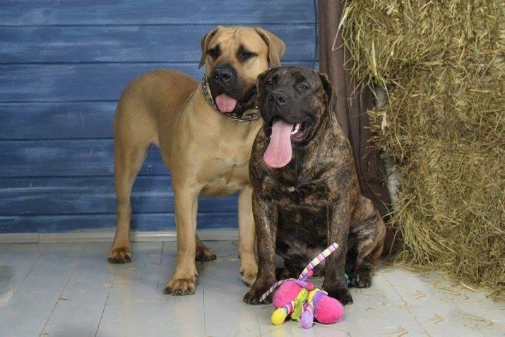 Южноафриканский бурбуль (бурский мастиф) собака: фото и цена