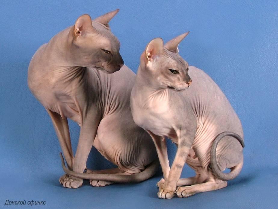Какие породы кошек наиболее популярны в россии?