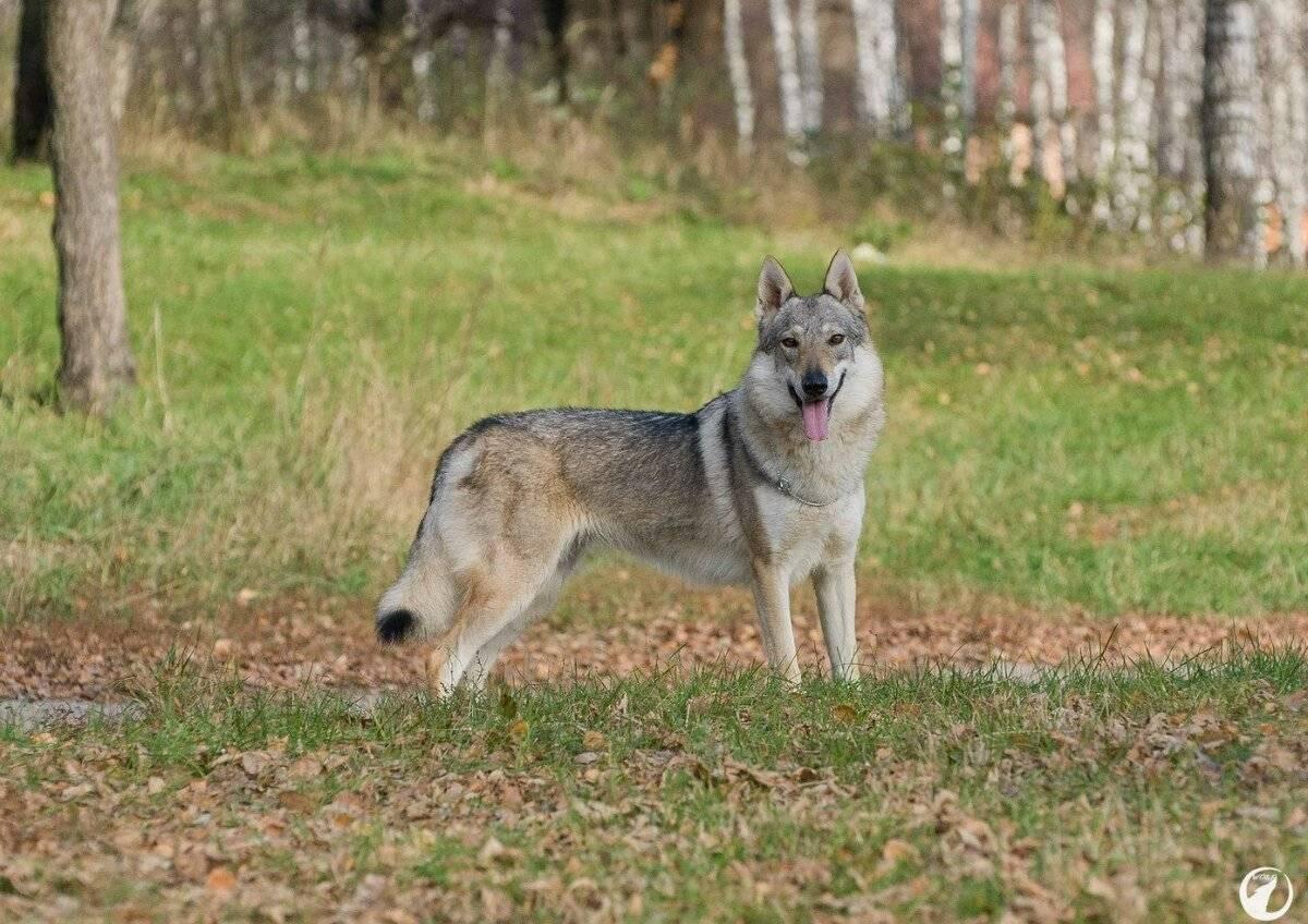 Чешский волчак — czech wolfdog
