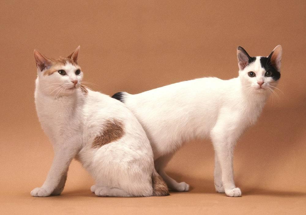 Американский бобтейл: все о кошке, фото, описание породы, характер, цена