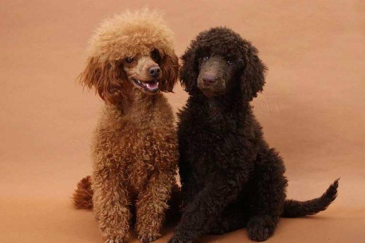 Пудель: разновидности, содержание, уход, фото и цена собаки