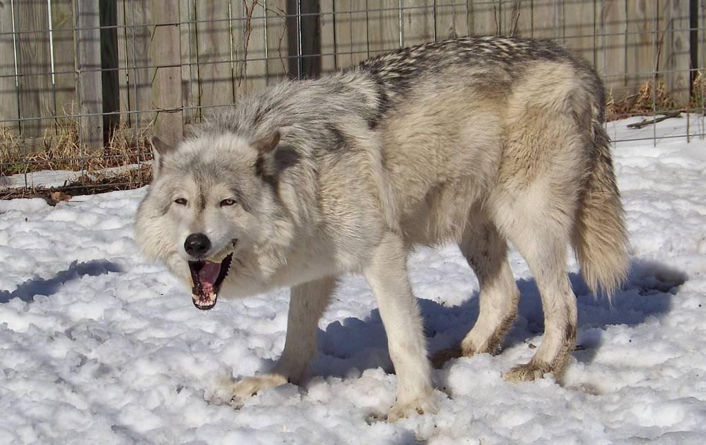 Волк – лесной хищник