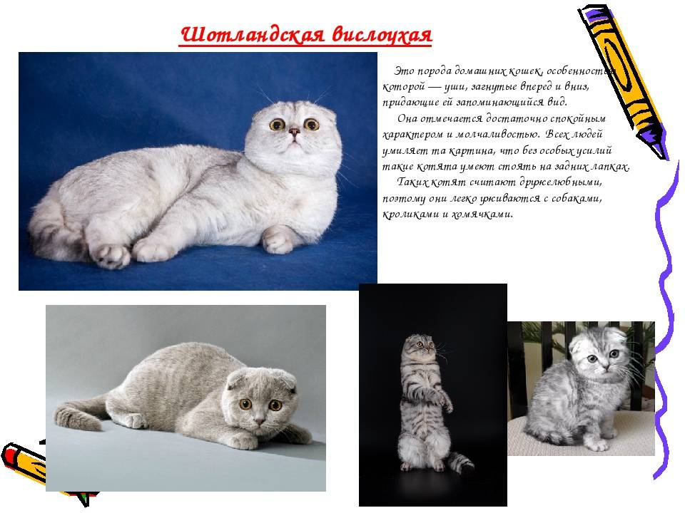 Уход за британскими котятами: содержание, воспитание, кормление, прививки