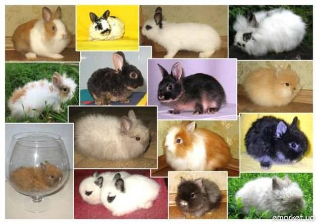 Декоративные кролики — уход и содержание в домашних условиях