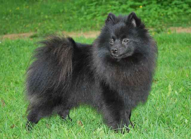 Описание черного померанского шпица: фото собак, варианты окраса, черты характера, особенности ухода и выбор щенка