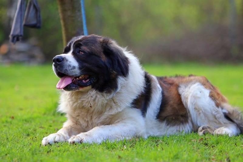 Какую породу собак выбрать для охраны частного дома