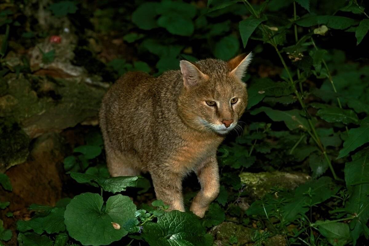 Краткое описание камышового кота, образ жизни и питание, размножение
