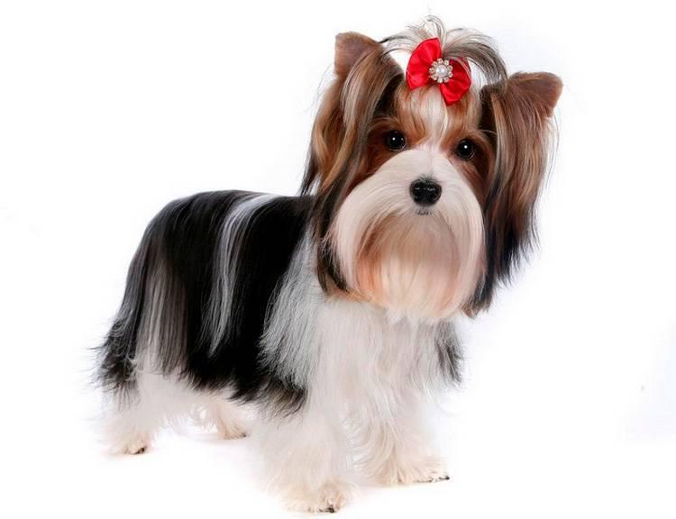 Бивер йорк: описание породы, характер собаки, отличия от йорка, уход