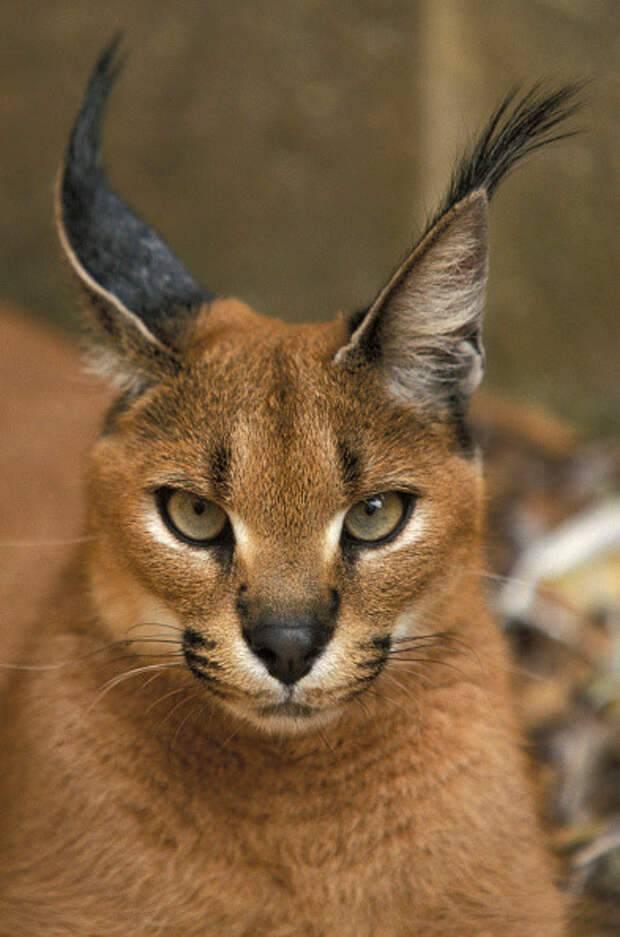 Порода кошек каракал: описание, характер, фото, частые болезни