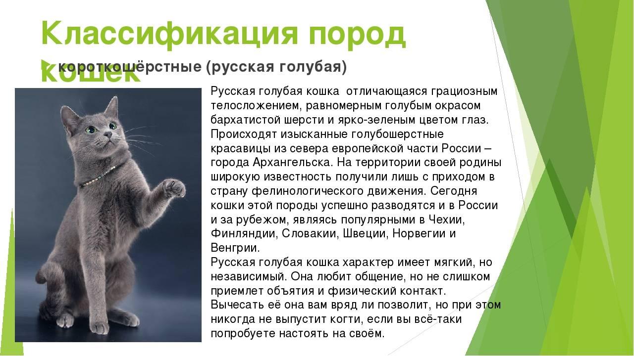Выращивание сибирских котят: описание породы, характер, фото