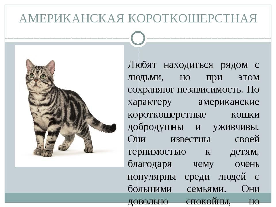 Европейская кошка: происхождение, описание, особенности ухода