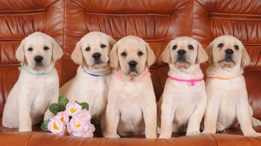 Клички для лабрадора-мальчика: интересные и забавные имена, которыми можно назвать собаку большой породы