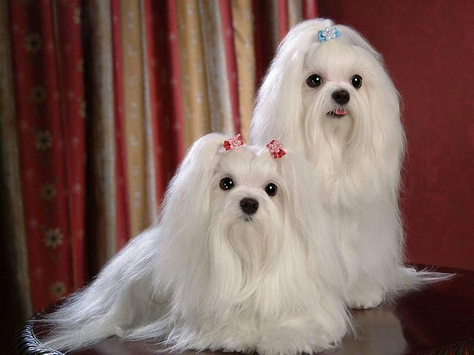 Особенности щенков породы мальтезе. как выбрать собаку?