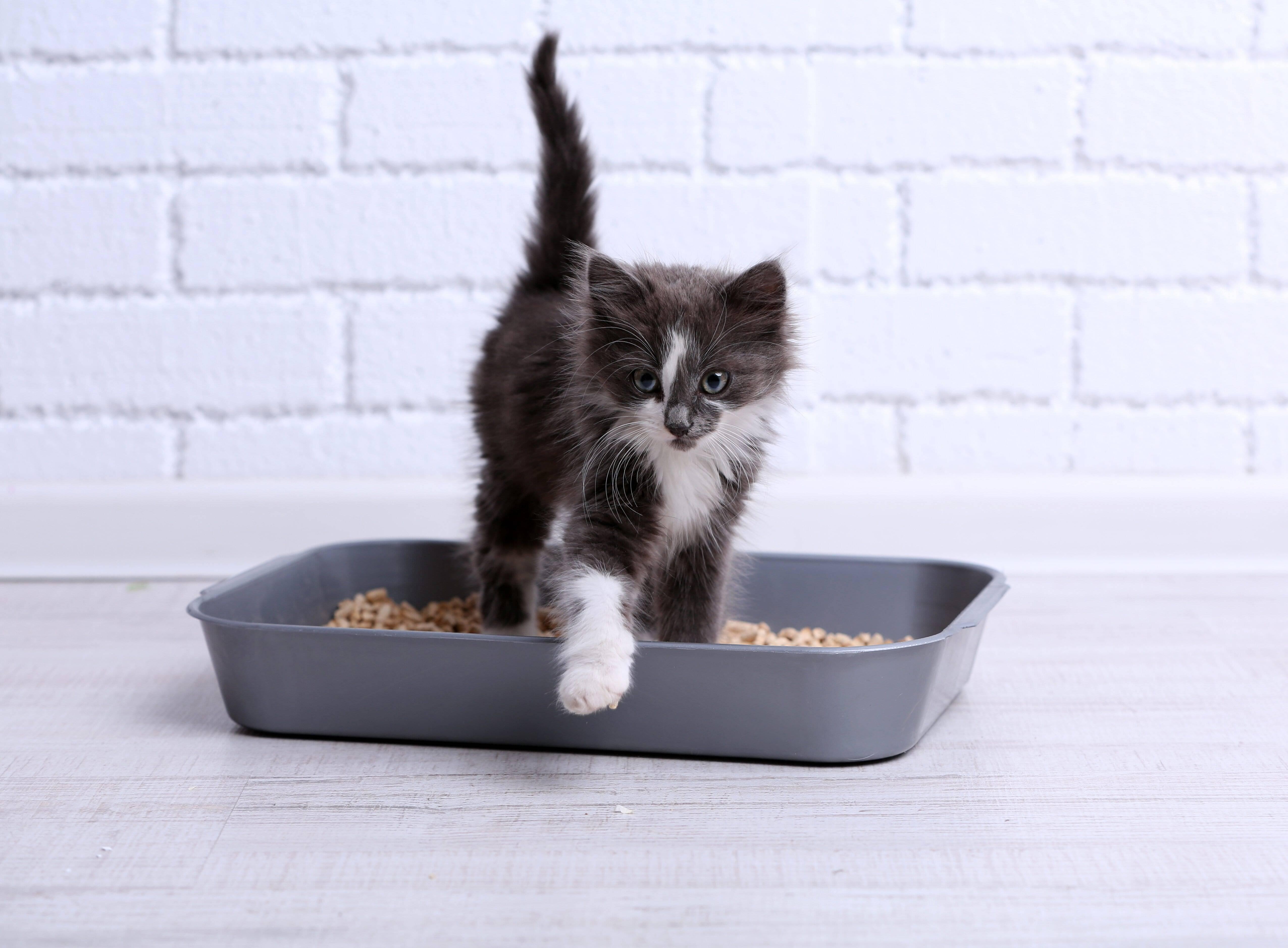 Как правильно приучить шотландского котенка к лотку?