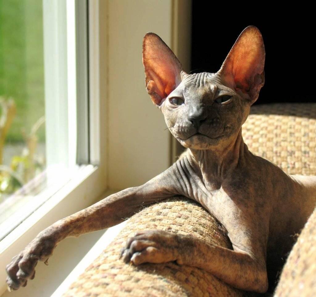 Петерболд: характер кошек, особенности породы, сколько стоят перерболды
