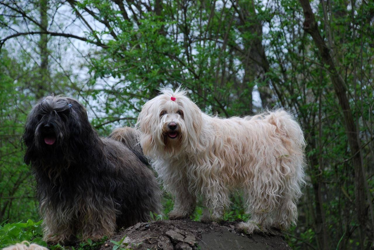 Тибетский терьер (tibetan terrier): описание породы, уход, содержание и воспитание декоративной собаки