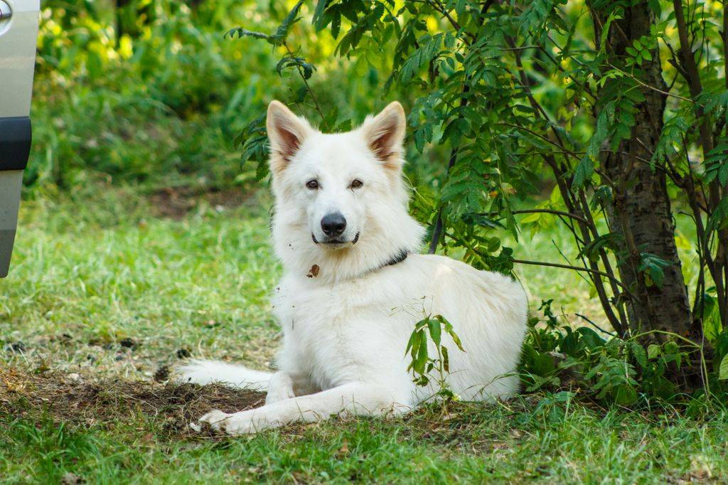 Бшо белая швейцарская овчарка собака. описание, уход и цена породы | sobakagav.ru