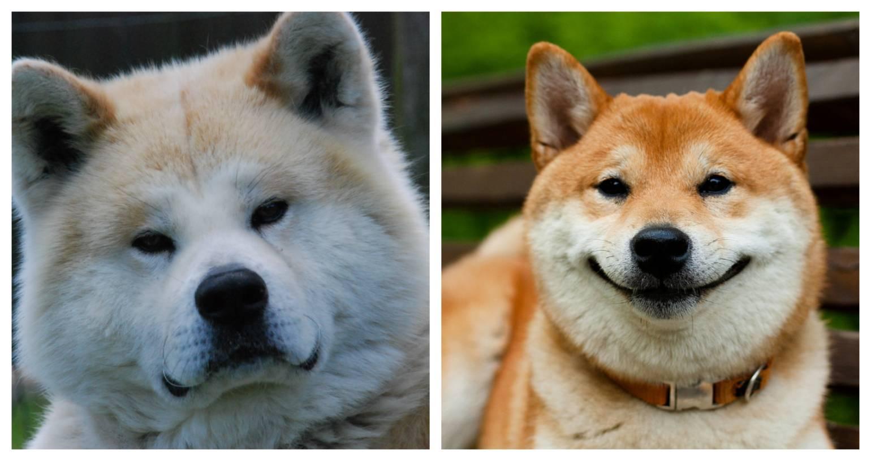 Отличия акита ину от сиба ину (шиба): чем отличаются породы, сходства и различия собак на фото