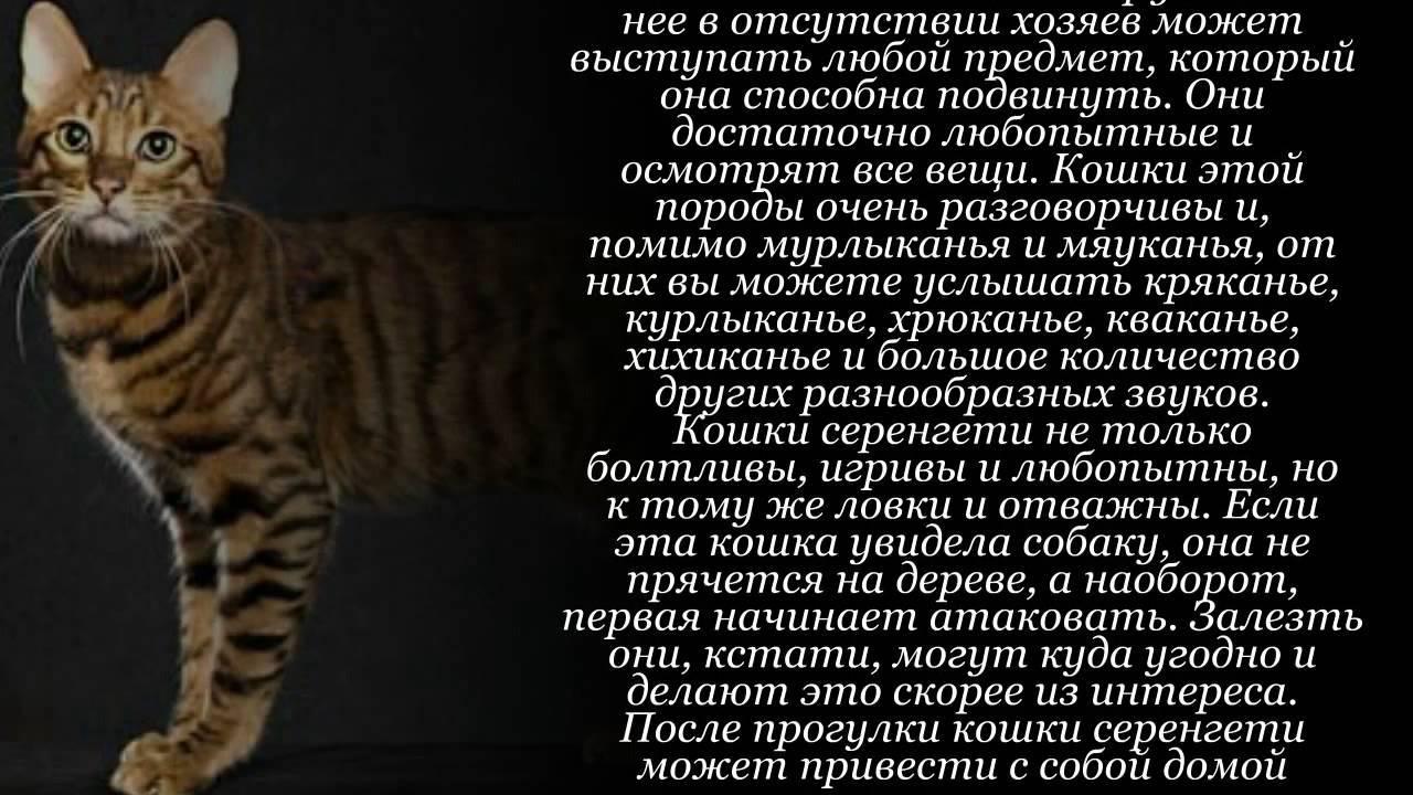 Серенгети (кошка) - 100 фото и видео описание признаков породы