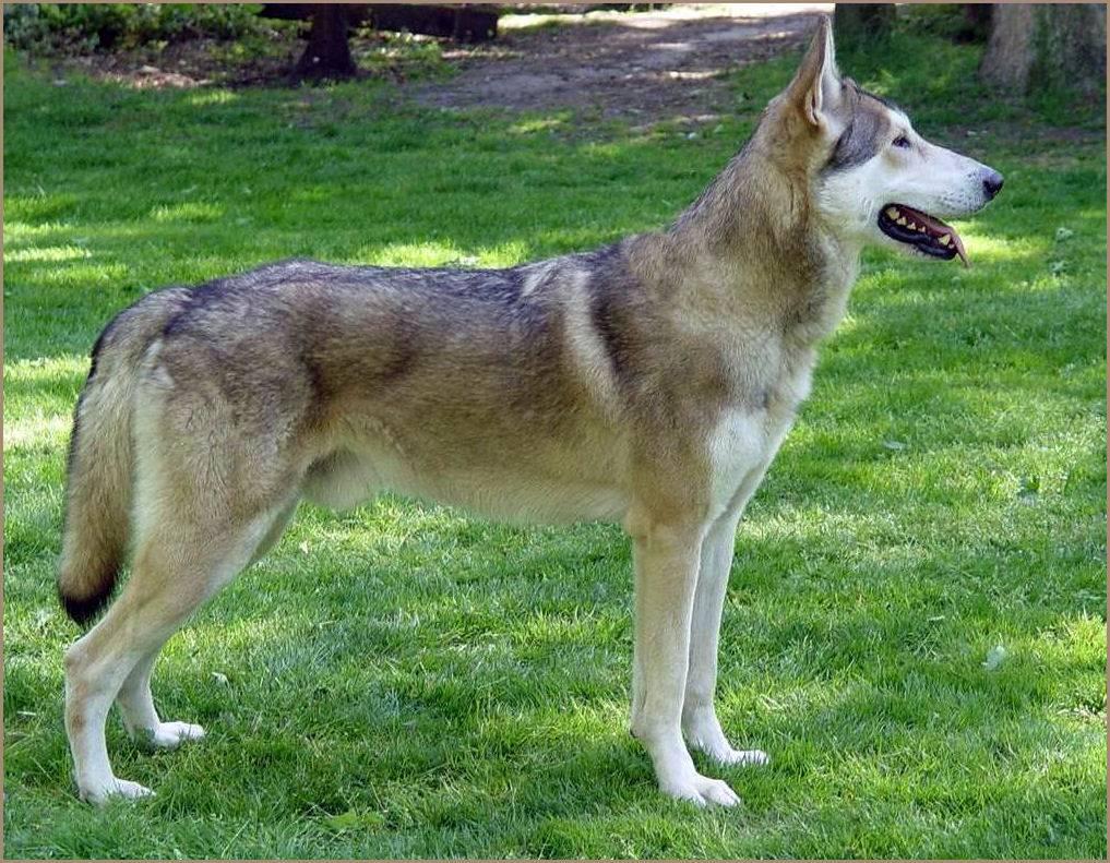 Волчья собака сарлоса — википедия. что такое волчья собака сарлоса